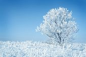 Alone frozen tree blue toned. white winter