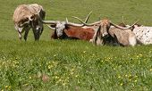 stock photo of hughes  - A small herd of Longhorns in a field in downtown Dallas Texas