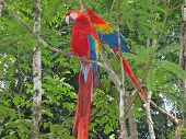 Multi Coloured Tropical Parrot In The Trees, Copan, Honduras