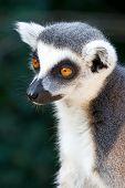Lemur Kata / Lemur Catta, Zoological Garden, Troja District, Prague, Czech Republic poster