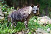 Hyena (parahyaena Brunnea) / Brown Hyena Called Strandwolf, Zoological Garden, Troja District, Pragu poster