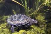 Beautifull Underwater Picture Of Swimming European Pond Turtle (emys Orbicularis) Or European Pond T poster