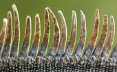 Iguana Scales
