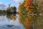 Jumping Gold Fish