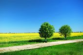 Bright yellow field with Brassica napus and two tree
