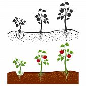 Tomato Plant With Roots Vector Growing Stages - Cartoon Style And Silhouettes Of Tomatoes Isolated O poster