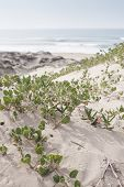 Sand Verbena Sprawling On A Sand Dune By The Ocean poster