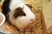 stock photo of guinea pig  - guinea pig  - JPG