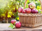 Apple harvest. Ripe red apples in the basket on the table. Autumn garden at the background. poster