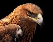 foto of merlin  - Eagle portrait isolated on black  - JPG