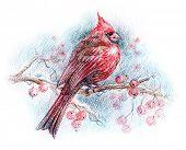 pic of cardinal-bird  - northern cardinal bird drawing - JPG