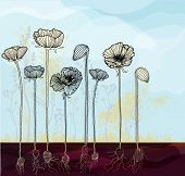 picture of poppy flower  - Hand drawn poppies with roots - JPG