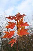 Arce elimina en el otoño.