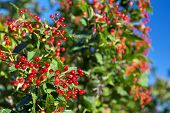 Ripe Fruits Of Guelder-rose Hang On Branches. Ripe Fruits Of Viburnum. Crop Of Red Berries Of Guelde poster