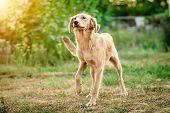 Cute light fur dog joyfully coming poster