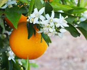 Valencian Orange And Orange Blossoms. Spain.spring. Orchard poster