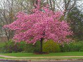 Cherry Kwanzan Tree In Bloom