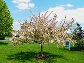 Ornamental Crabapple Tree In Bloom
