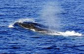 A surfacing Fin Whale ( Balaenoptera physalus) the second largest Animal on the planet after the Blue whale