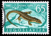 YUGOSLAVIA - CIRCA 1962: A stamp printed in Yugoslavia shows the lizard with the inscription
