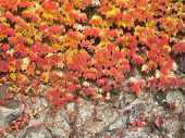 Colorful Ivy On The Wall
