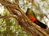 Spring Young Immature Australian King Parrot