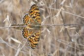 pic of copulation  - A pair of butterflies copulating with their bodies united - JPG