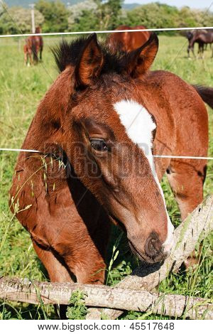 Picture or Photo of Young colt horse inside a fence putting the head out