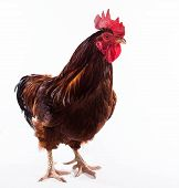 stock photo of rooster  - Colorful Rooster Isolated On the White background - JPG