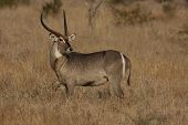 stock photo of veld  - Waterbuck in the Kruger National Park of South Africa - JPG