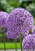 Purple Allium Flowering Plant