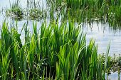 stock photo of bulrushes  - Young green bulrush  - JPG