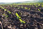 pic of rich soil  - Crops planted in rich soil get ripe under the sun fast - JPG