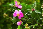 stock photo of wild-brier  - leaves wild rose pink summer flower green background wallpaper - JPG