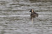 foto of great crested grebe  - Great Crested Grebe on the water closeup - JPG