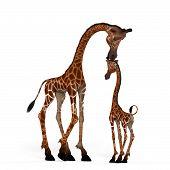 Girafa bonito com uma cara engraçada - linda