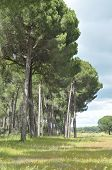 The Edge Of The Forest, Pine Iberian. Meadow With Herbaceous Vegetation.