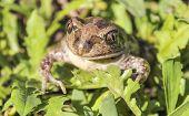 Bufonidae. Toad.