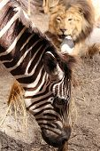 stock photo of unawares  - zebra eating grass peacefully unaware of the lion stalking him - JPG