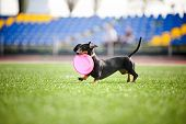 stock photo of dachshund dog  - funny dachshund dog brings the flying disc in jump - JPG