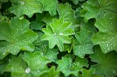 stock photo of pubescent  - green Astilboides leaves shady flower bed with raindrops - JPG