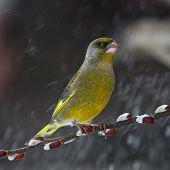 Green Finch In Snowfall - Carduelis Chloris