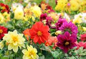 Bright Different Colored Flowers Of Dahlia