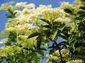 foto of elderflower  - Elder is commonly used in herbal medicine - JPG