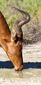 Red Hartebeest Drinking Water