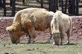 Two white bison