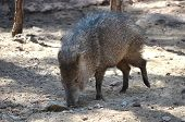 foto of javelina  - A javelina walking along and sniffing the ground - JPG