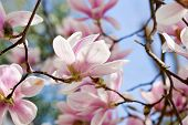 foto of magnolia  - beautiful blooming pink magnolia tree blue sky in spring outdoor - JPG
