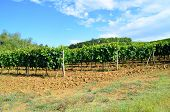 Grapes in Vineyard - Chianti - Toscana, Italy