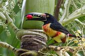 stock photo of toucan  - closeup of an Aracari toucan in the rain forest of belize - JPG